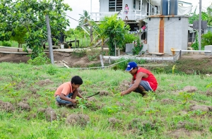 A lad assisting his father in their farm at Hope, East Coast Demerara, on a humid Saturday afternoon