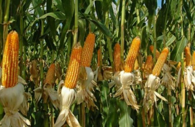 Cultivate more corn, soya bean